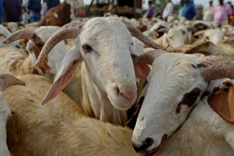 Sudanese sheep